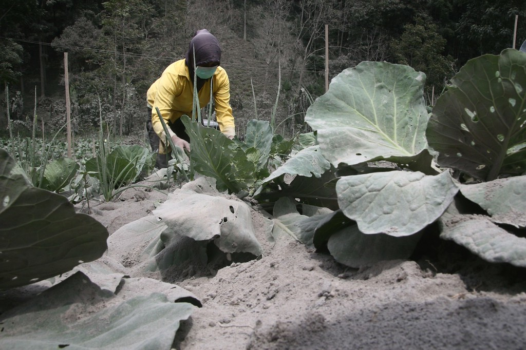 . A farmer inspects a vegetable farm damaged by heavy ashfall in Malang, East Java on February 16, 2014 following the volcanic eruption of Mount Kelud in East Java on February 13. AFP PHOTO / Aman  ROCHMAN/AFP/Getty Images