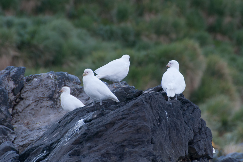 Birds in Cooper Bay, South Georgia Island