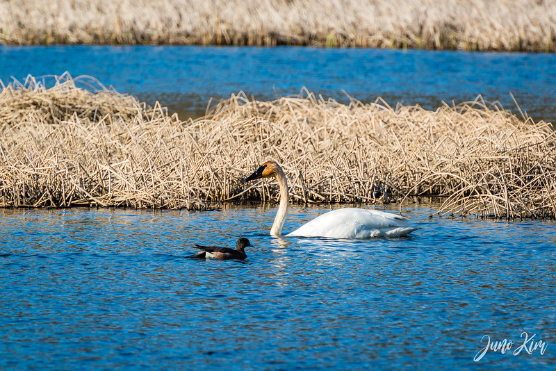 2020-05-12_Potter Marsh bird-_6109497-Juno Kim.jpg