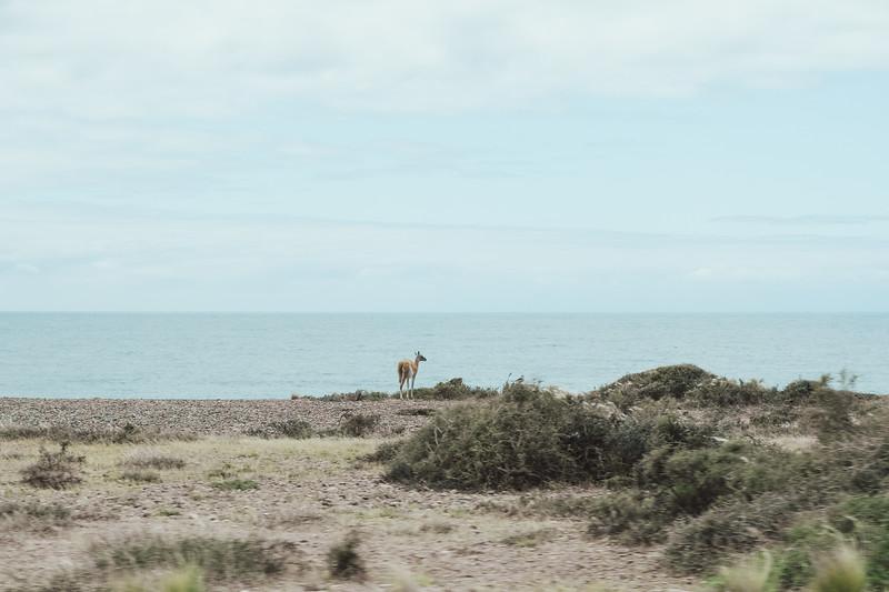 Guanaco by the Ocean