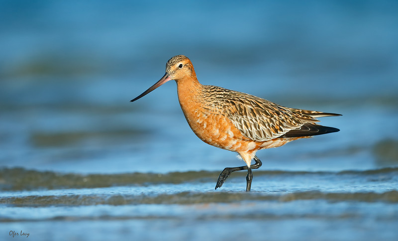 Bar-tailed Godwit 22 MASTER.jpg