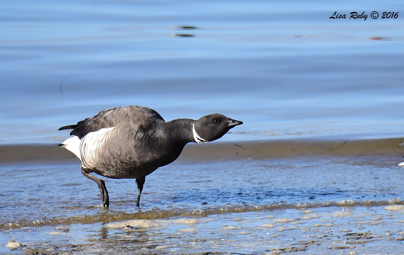 Brant - 12/11/2016 - Mission Bay east