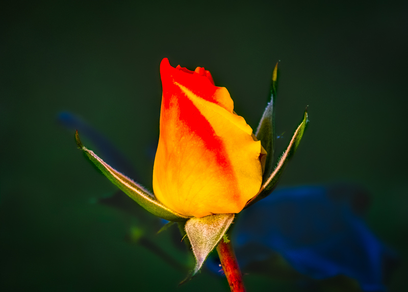 January 9 - Early winter rose in Southern California.jpg