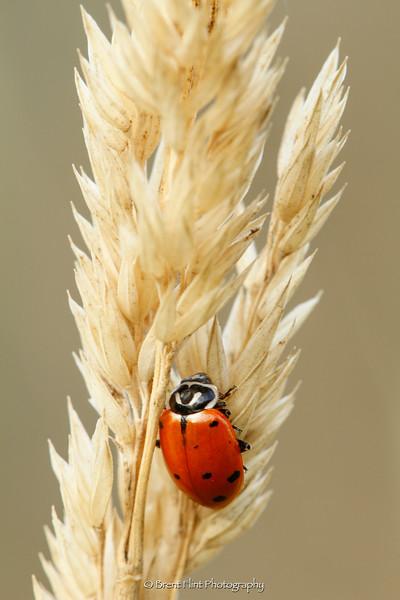 DF.3313 - ladybird beetle on dried grass head, Liberty Lake County Park, WA.