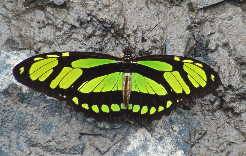 Dido Longwing Butterfly (Philaethria dido)
