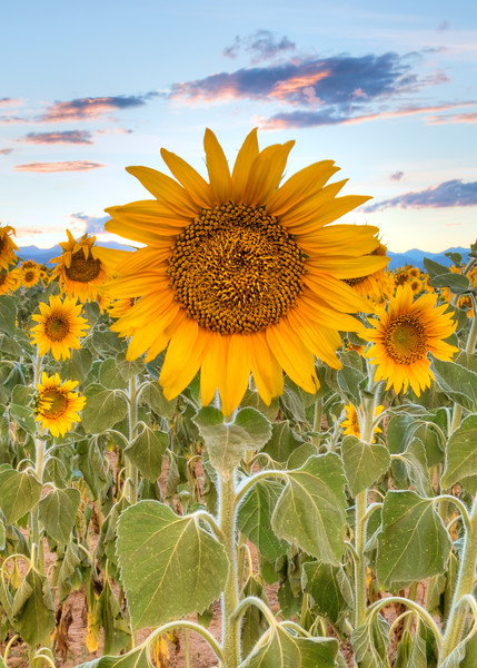 'Sunflowers at Sunset' - Front Range, Colorado