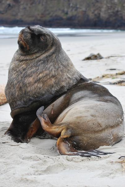 Hooker Sea Lion.JPG