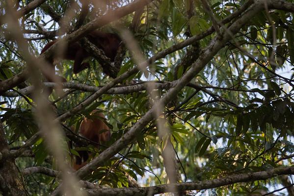 Red-Howler Monkey
