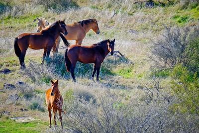 Wild Horse of Salt River February 2020