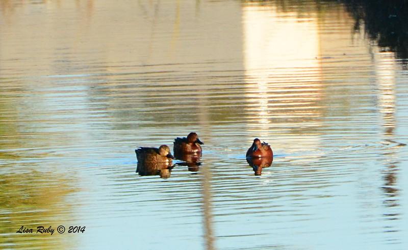 Cinnamon Teals - 12/29/2014 - Tijuana River Valley Estuary Preserve