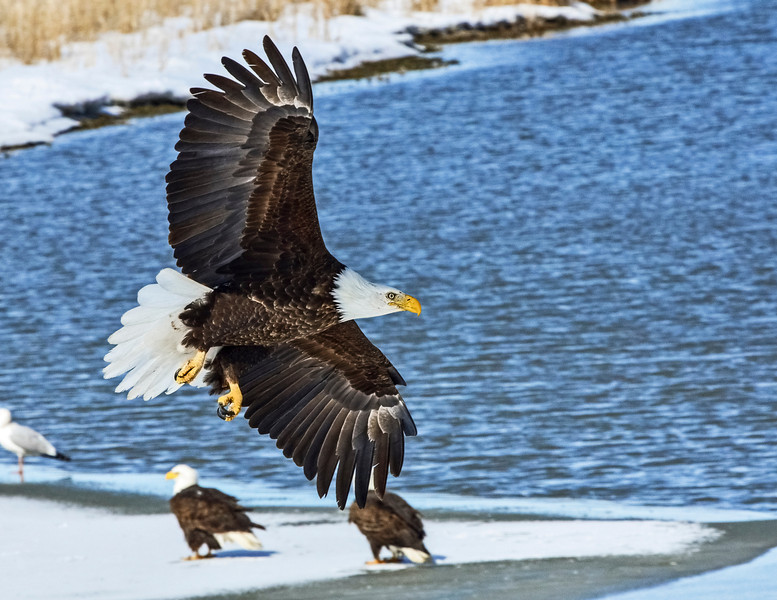 American Bald Eagle FB36 star.jpg
