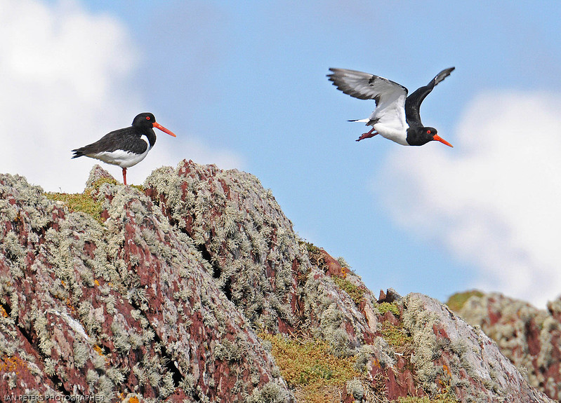 Ian Peters_Oyster Catcher takeoff! For print.jpg