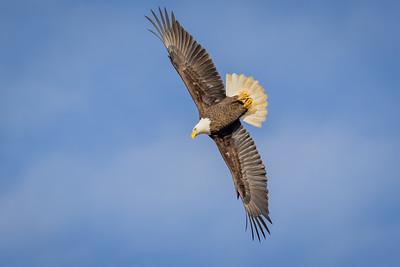 Jordan Dam Eagles and Cedar Waxwings