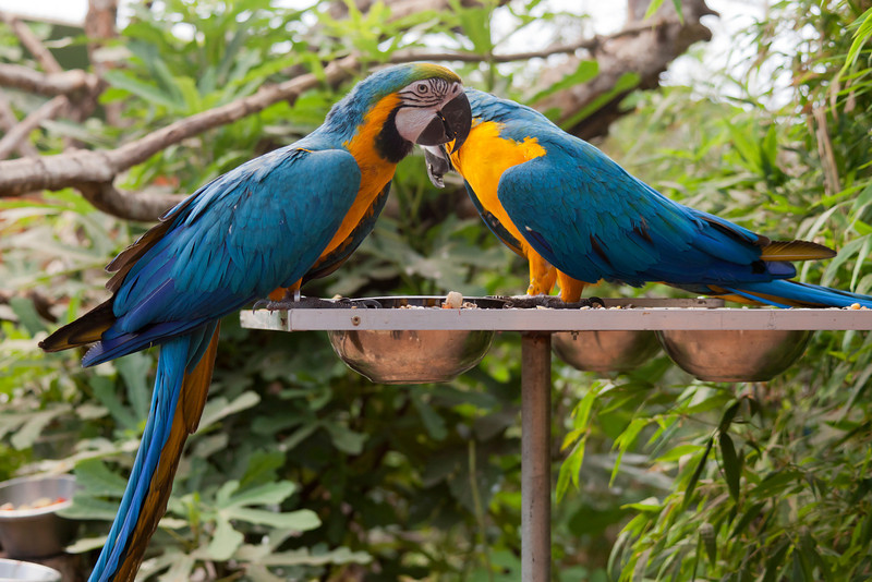 Blue and yellow Macaw pair perching on feeder - Ara ararauna