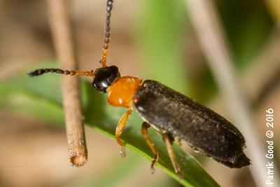 Black Head Soldier Beetle