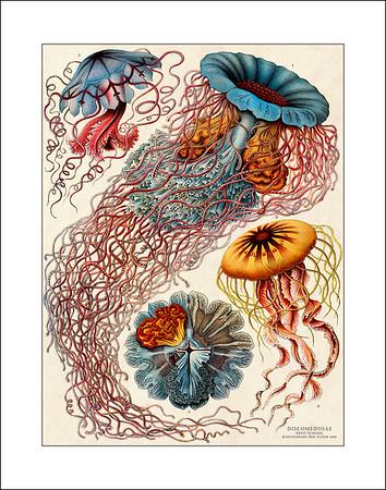 Ernst Haeckel Prints