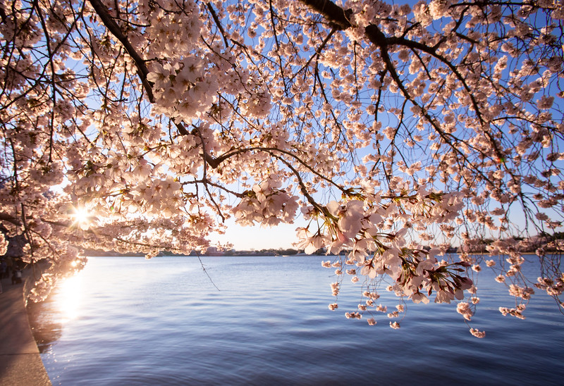 Tidal Basin cherry blossoms at sunrise