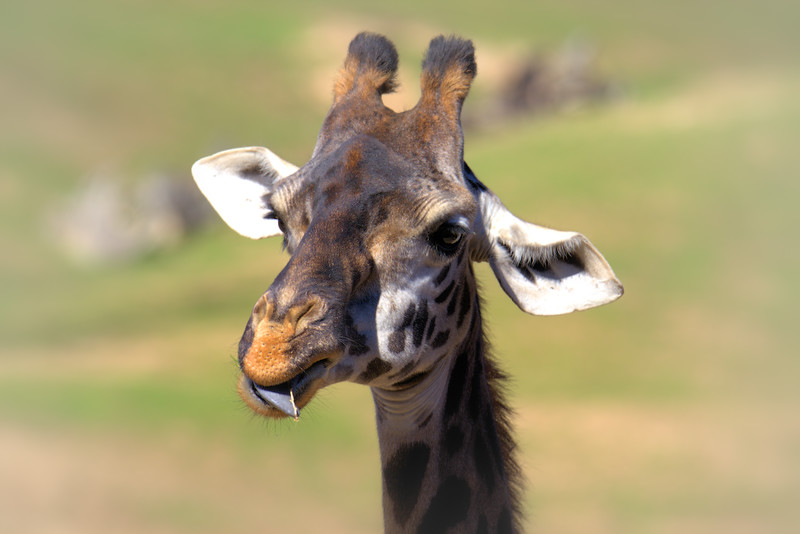 Giraffe 3 1.29.2017 Topaz.jpg