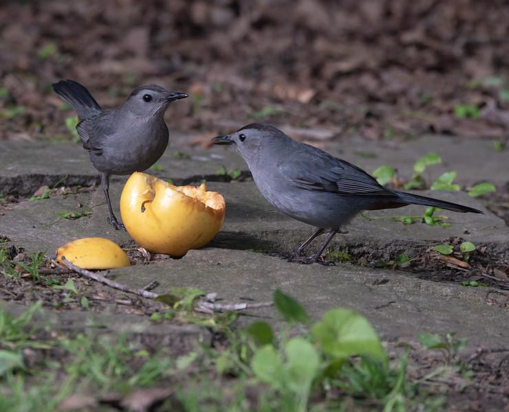 Gray Catbirds enjoy an apple