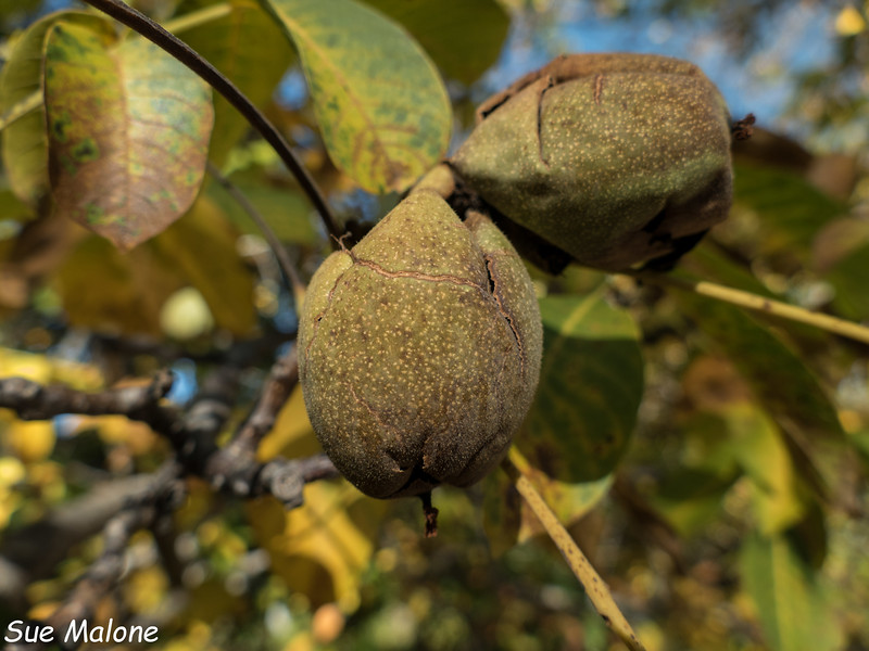 around the property and canning pears-4.jpg