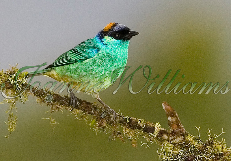 Golden-naped Tanager.jpg