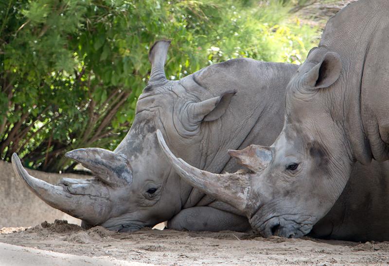 rhinos_lowres.jpg