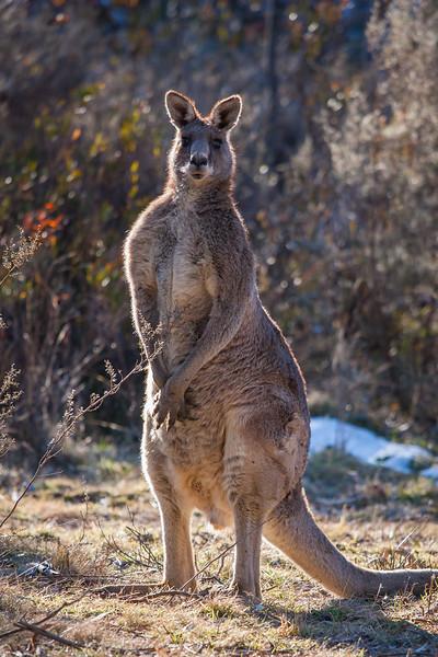 Kangaroos Tidbinbilla 2012