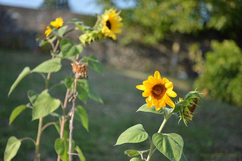 Sunflower Lonay_20092020 (18).JPG