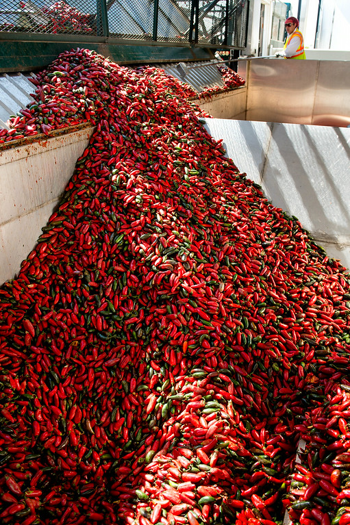 . Worker Govanni Montez keeps a watch as 11 tons of chilies are poured into the hopper before the girding process at the Sriracha hot sauce factory in Irwindale on Friday, August 22, 2014. (Photo by Watchara Phomicinda/ Pasadena Star-News)