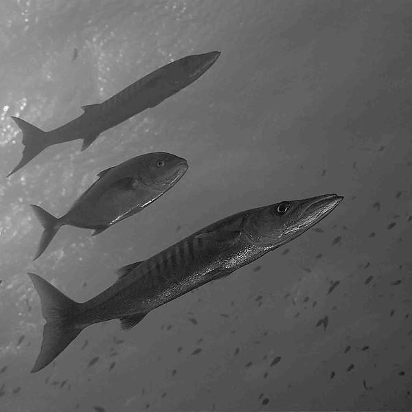 Barracuda Sphyraena barracuda-Madagascar_océan Indien.jpg