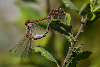 Common Darter - Stor Hedelibel