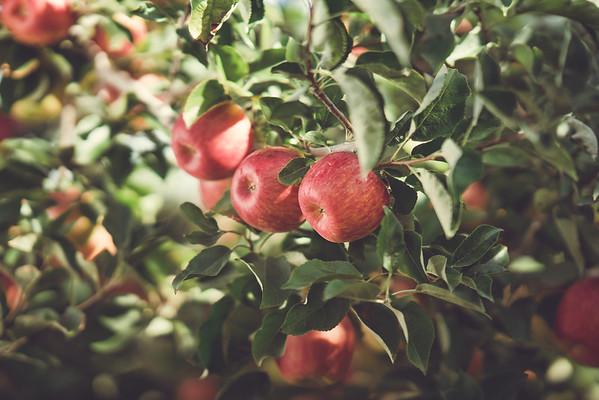 Yakima Valley Apples