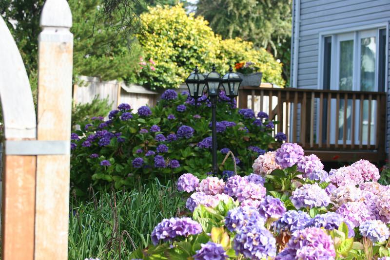 Hydrangeas at Tyee B&B - Newport, Oregon