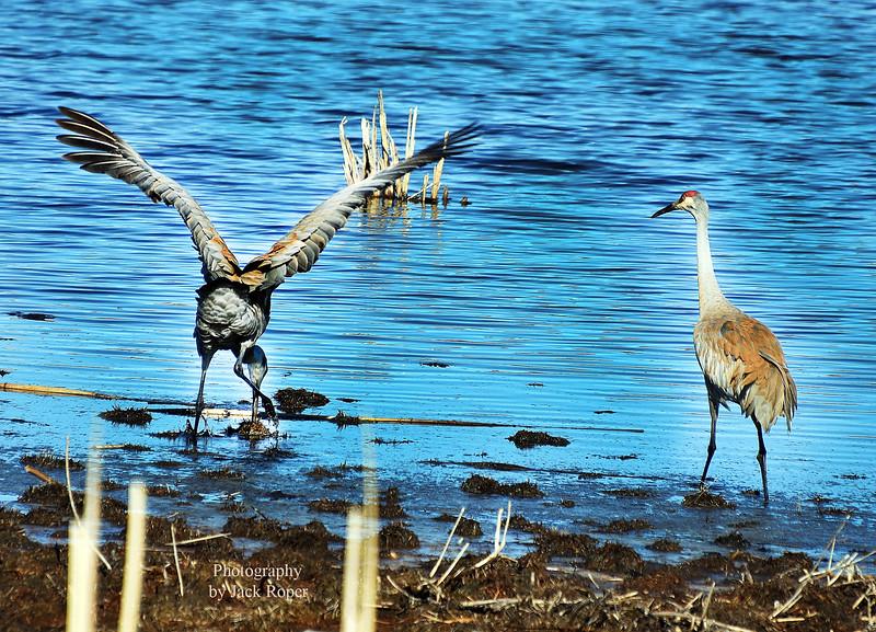Crane feeding .....jpg