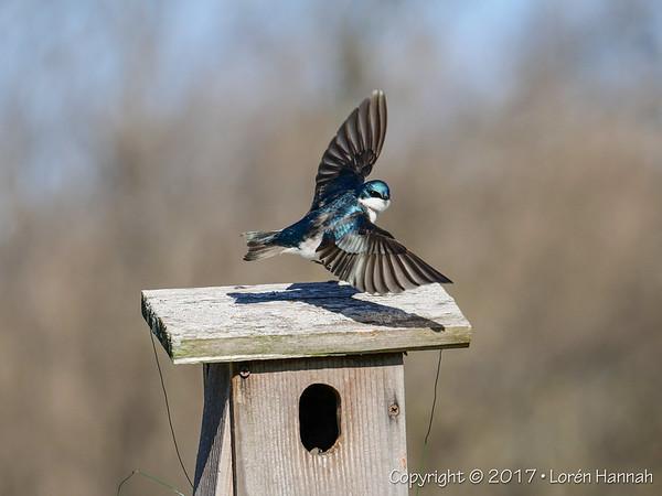 6K Photos - Swallows at Nippersink Park - GH5 - Round Lake, IL