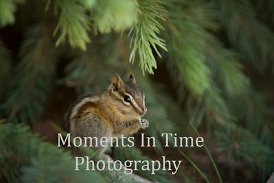 Chipmnunks and squirrels
