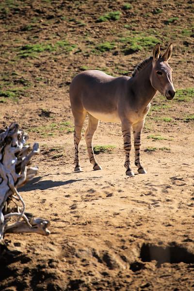 Rare sudanese donkey.jpg