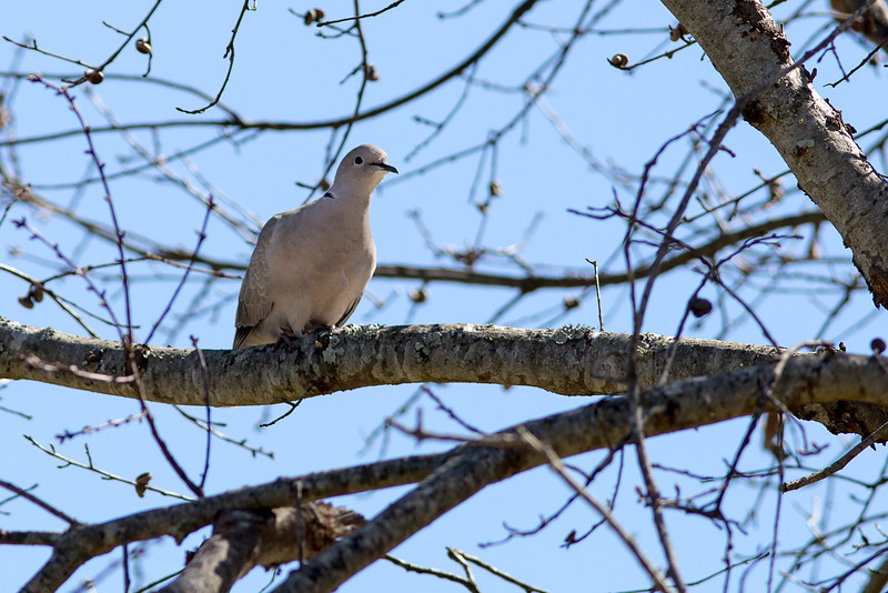 Eurasian Collared Dove - A few Eurasian Collared-Doves were introduced to the Bahamas in the 1970s. They made their way to Florida by the 1980s and then rapidly colonized most of North America.