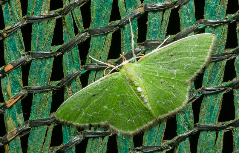 Emerald moth (Geometrinae) from Monteverde, Costa Rica.