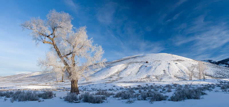 Cottonwood tree covered in hoarfrost, Yellowstone National Park