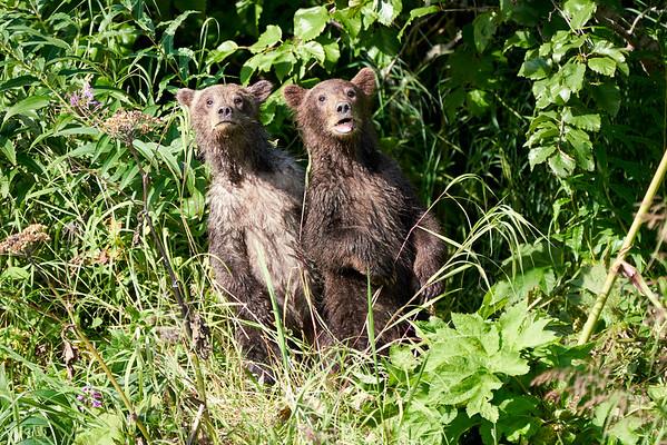 Standing Bear Cubs Hunting Mom Katmai 2020
