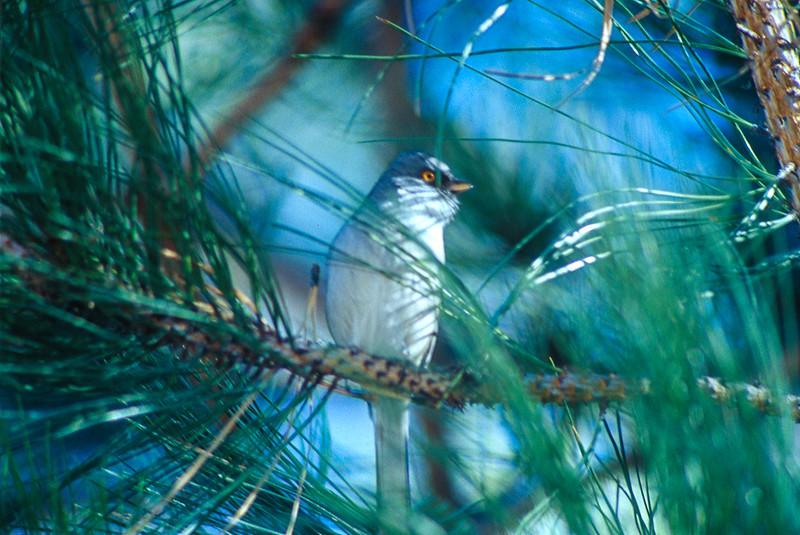 Yellow-eyed Junco Mt. Lemmon Tucson AZ SLIDE SCAN BIRDS.jpg