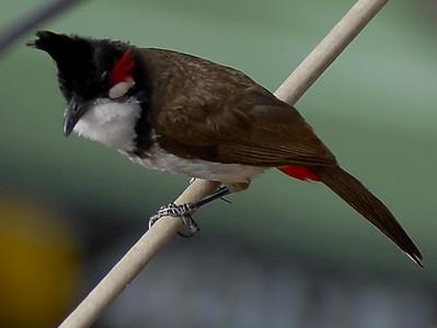 Bengal Birds