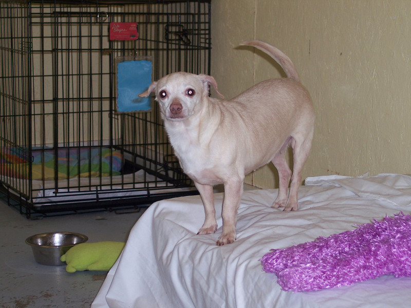 Cruella, a scared chihuahua from a puppy mill seizure, hanging out in quarantine at 1430