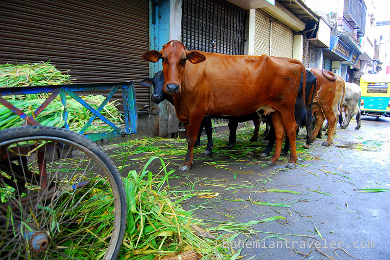 cows eating in Ahmeabad Gujarat India.jpg