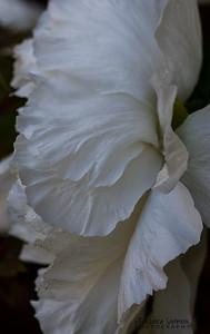 White Tree Peony