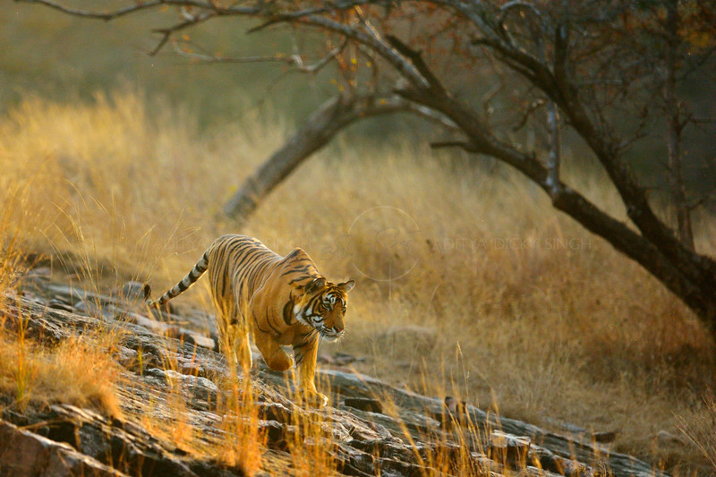 Backlit Ranthambhore tiger