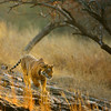 Backlit Ranthambhore tiger