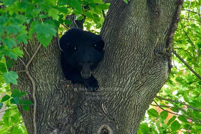 06/17/21 Whitehall Bear