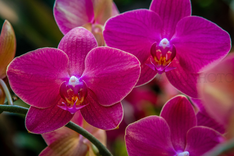 Hot Pink Orchids